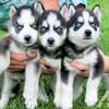 Blaue Augen Sibirischer Husky Welpen Zu Verkaufen