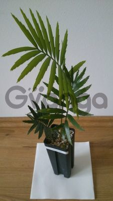 Encephalartos Hirsutus & Horridus Seeds and plants Available