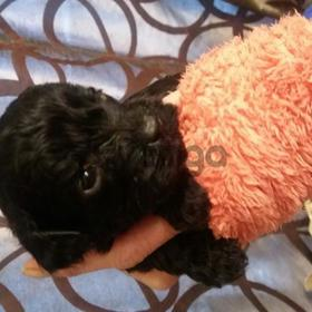 f1 pra clear cavapoo Puppies for sale