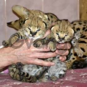Tamed Caracal and serval kittens for sale