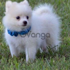 Are you looking for a pomeranian puppies