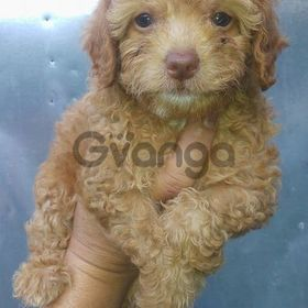 Pure Breed Toy Poodle & Mix Breed Poodle and Shih Tzu