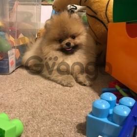Registered Pomeranian Girl