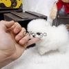 Healthy Pomeranian Puppies