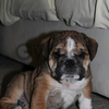 Male and Female English bulldog puppies for adoption