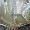 Encephalartos Hirsutus & Horridus Seeds and plants Available