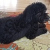 Adorable Standard Poodle Available