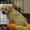 Amazing labrador retriever puppy for sale