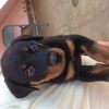 A Male 45 Days Old Rottweiler For Sale