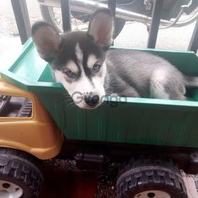 Lobo siberiano en venta