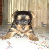 Hermoso Cachorrito Yorkshire Mini mini 6000 no te lo pierdas