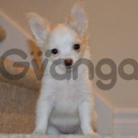 A donner magnifique chiot chihuahua blanc