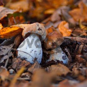 Грибница боровика - мицелий белого гриба почтой