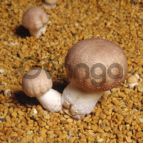 Мицелий шампиньона бразильского - качественная зерновая грибница агарика бразильского с гарантией всхожести!