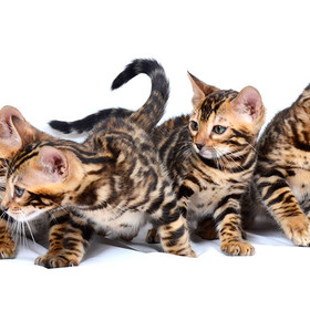 Бенгальский котик, бенгальская кошечка