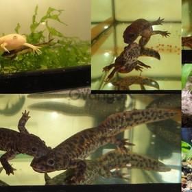 Комплект аквариумных животных: 2 тритона 2 лягушки. Доставка