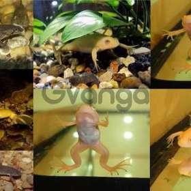 Желтые и серые аквариумные лягушки. Доставка
