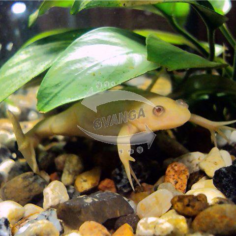 Желтые лягушки для аквариума! Доставка