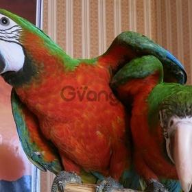 Гибрид попугаев ара Арлекин - ручные птенцы из питомников Европы