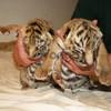 Тигр купить можно у нас, продам бенгальских тигрят