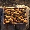 КФХ реализует молодой картофель оптом