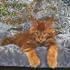 Котёнок мейн кун красный. Шоу класс. Питомник