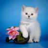 Британские котята серебро поинт. Роскошь. Изысканная красота