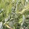 Семена озимого тритикале новый сорт Тихон