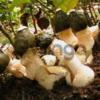 Мицелий веселки обыкновенной - зерновая грибница веселки для выращивания грибов в помещениях и на приусадебных участках