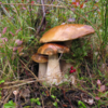 Мицелий белого гриба