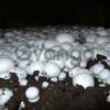 Семена грибов почтой- мицелий шампиньона недорого