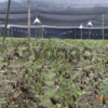 Семена разных наименований сморчков, которые можно выращивать на приусадебном участке и в помещении - мицелий сморчков