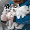 Сибирский хаски щенки/ Siberian husky puppies