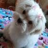Щенок мальтеза (девочка) – мини, короткая мордочка.