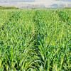 Семена суданской травы Камышинская 51