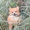 Померанского шпица щенки