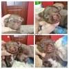 Продам мальчиков щенков чихуахуа(КСУ)