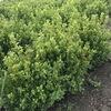 Самшит 25-50 см свежий с комом с поля