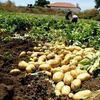 Продаем картофель оптом в Краснодарском крае. молодой картофель оптом Краснодар