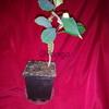 Молочай комнатное офисное растение 33 см
