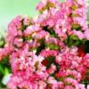Насіння кермека виїмчастого рожевого