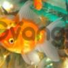 Доставка золотых рыбок по Киеву!