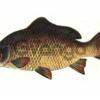 Комбикорм для прудовой рыбы К -111/2 (однолетки)