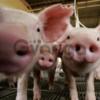 Комбикорм для свиней (Старт, Гроуэр, Финиш). Высокого качества со склада.