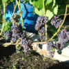 саженцы винограда северный плечистик