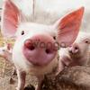 "Ароматическая добавка для свиней ""Вишня"""