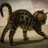 Бенгальские котята шоу класса