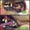 Ультразвуковая чистка зубов собакам без наркоза