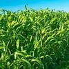 Семена суданской травы