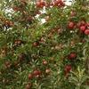 Хим-обработка плодовых деревьев.Озеленение в  Алматы.